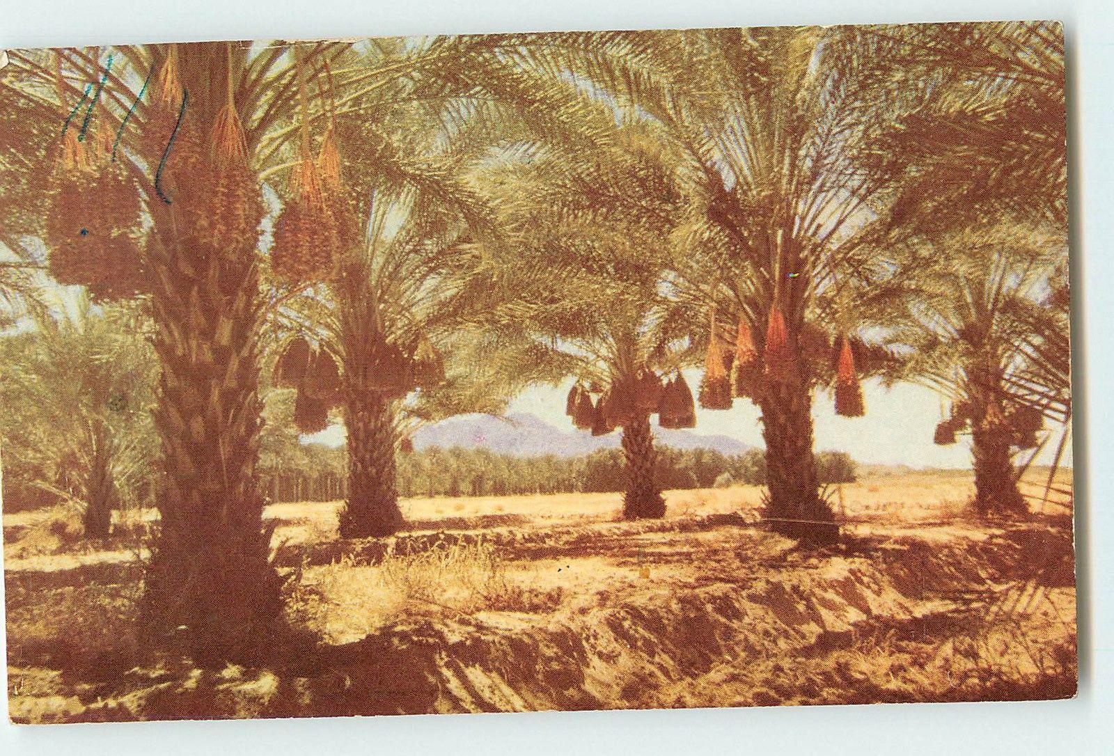 How do date palms grow?
