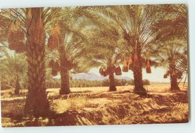 How do date palms grow?